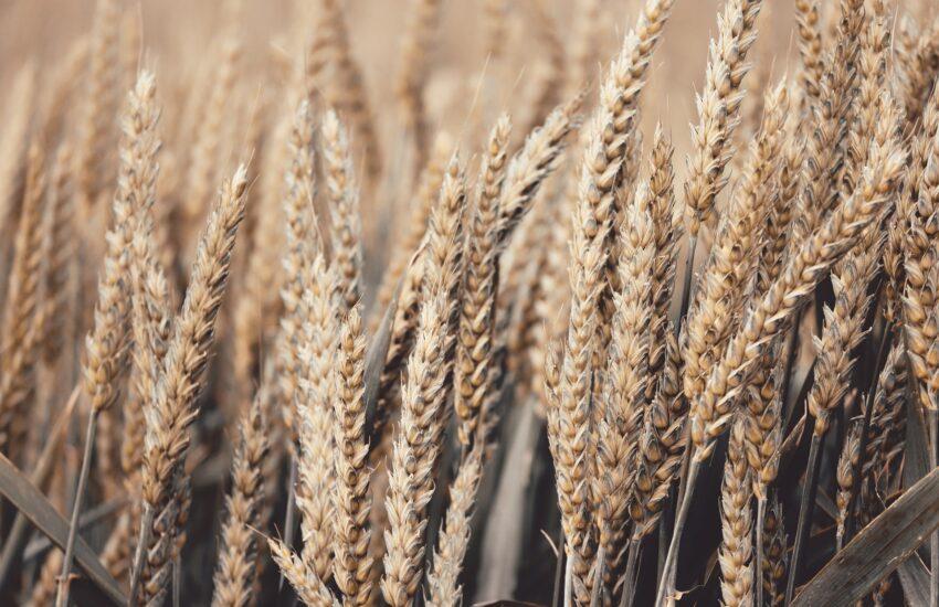 obilí, seno, pšenice