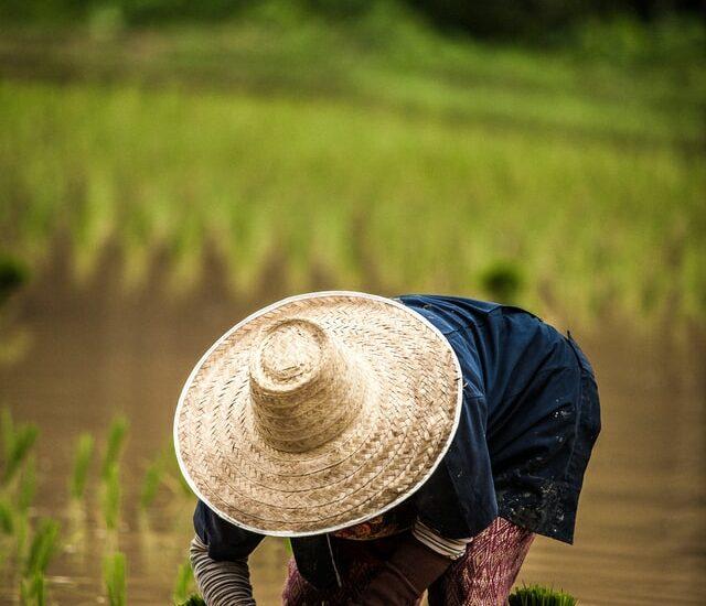 rýže, zemědělství, pole